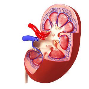 Detoxikace ledvin