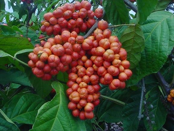 guarana a hubnutí