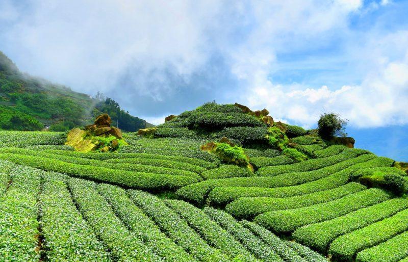 plantáže zeleného čaje