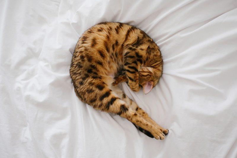 zdravě spící kočka