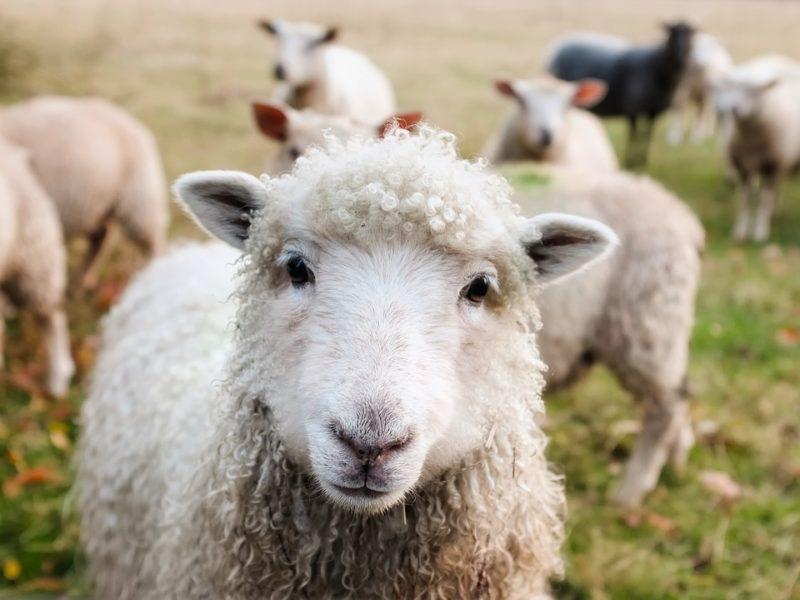 počítání oveček