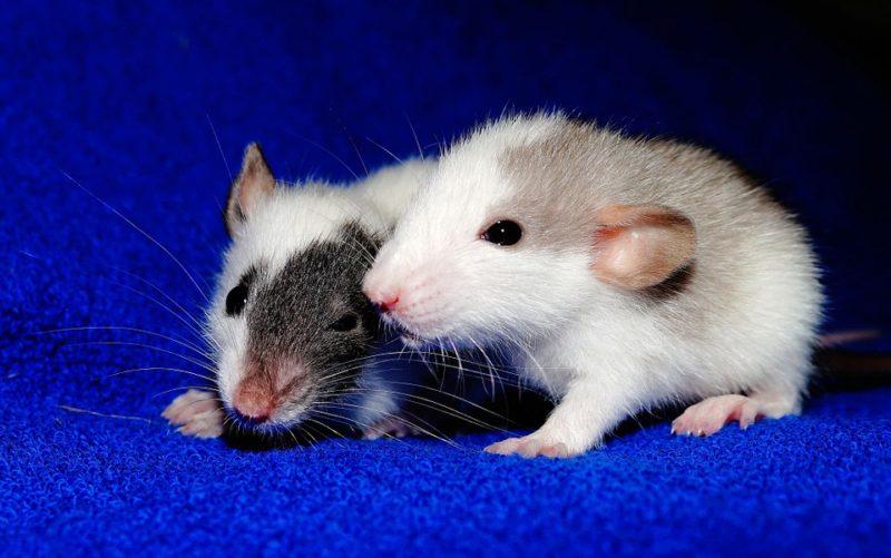 krysy bez spánku
