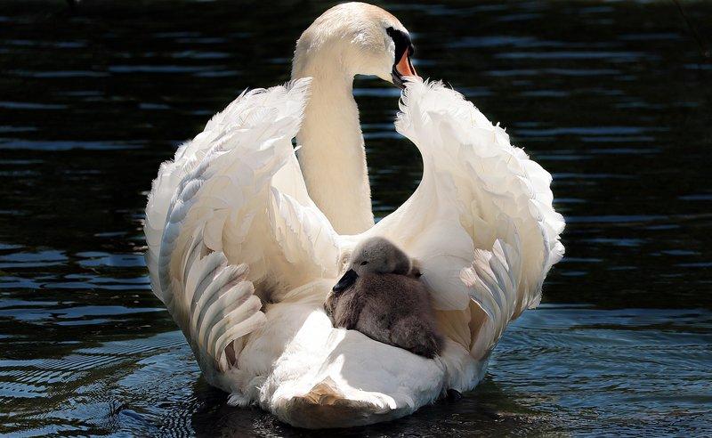 labuť s mládětem