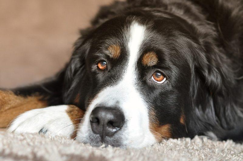 smutný psí oči
