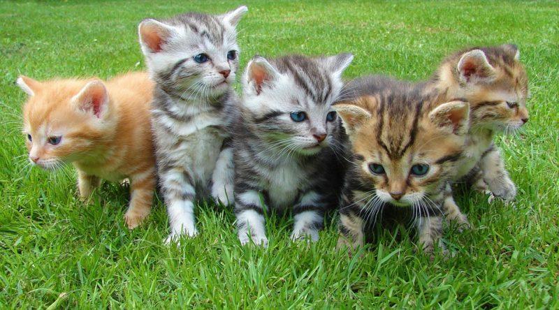 kočka jako alergen