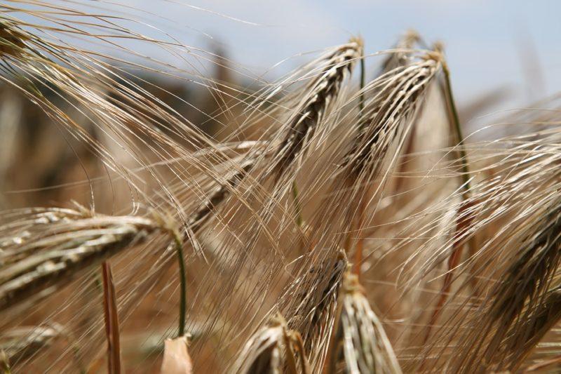 alergen pšenice
