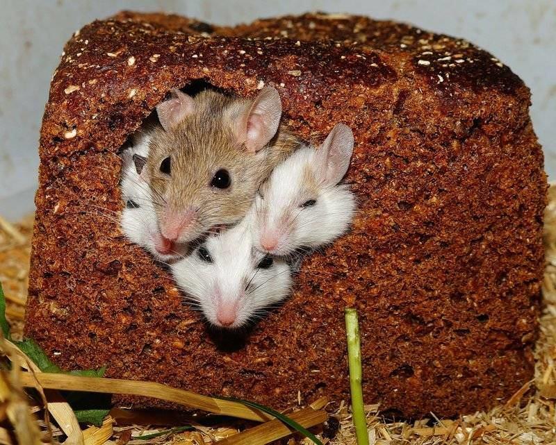 myši jí chleba