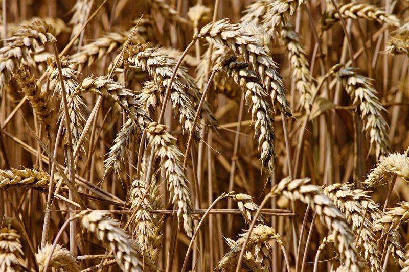 pšenice na bílou mouku