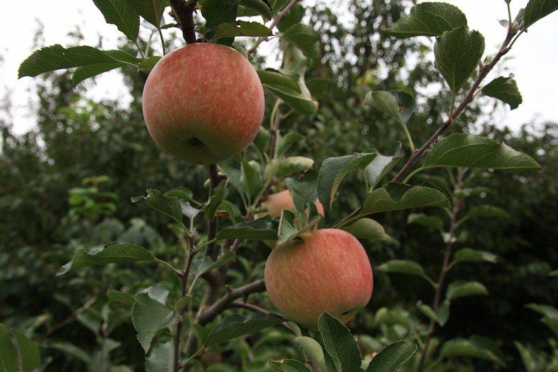 jabloň s jablky