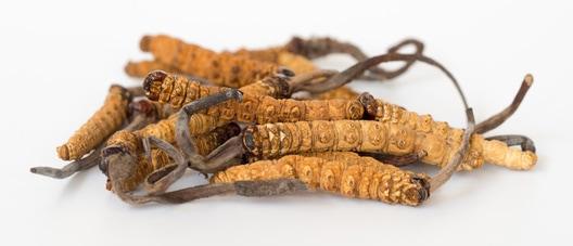 medicinální houba cordyceps sinensis