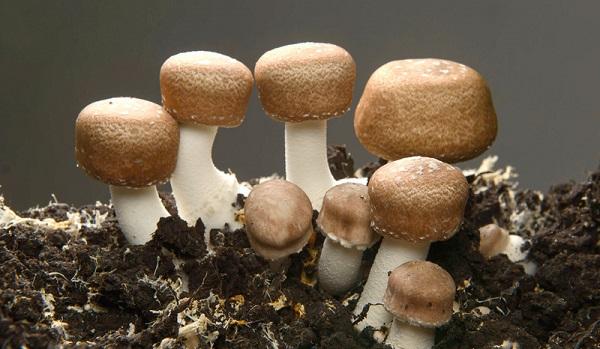 medicinální houba Brazilský Žampion