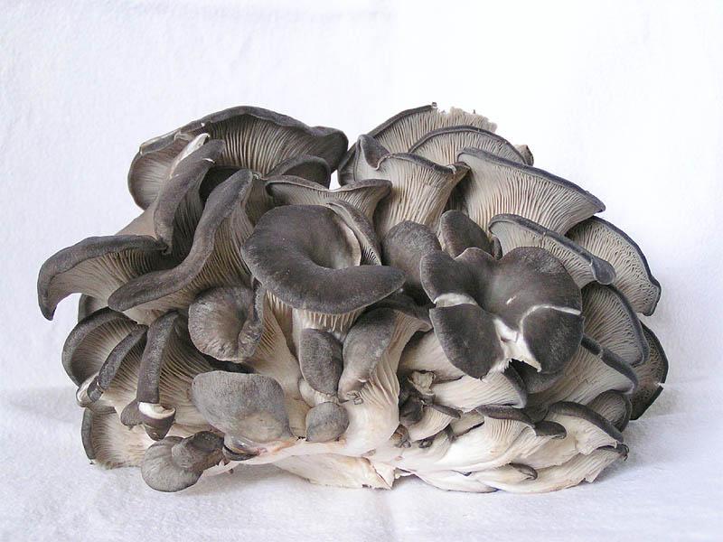 medicinální houba Hlíva Ústřičná