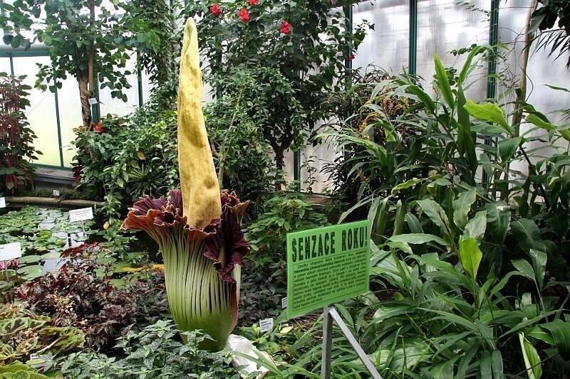 konjak rostlina